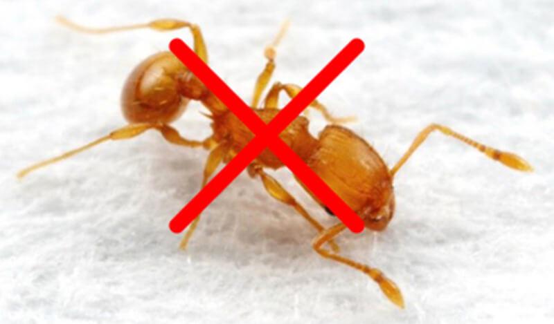 14 Cách diệt kiến trong nhà tận gốc mà không dùng hóa chất